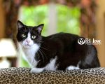 Pet Love Photography lifestyle image of a tuxedo cat.
