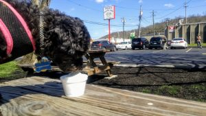 Truffles enjoys a lick of Putz's Creamy Whip in Cincinnati, Ohio